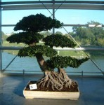 bonsai_3.jpg