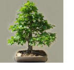 DWE-Charme-Commun-Carpinus-Betulus-Moyogi-Bonsai-2008-05-11.jpg