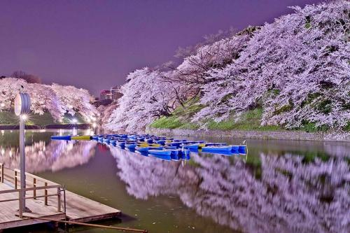 Cerisier-en-fleurs-au-Japon-6.jpg