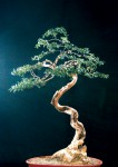 BONSAI-BUIS-LETTRE-2007-04-2-DIDIER-MATSUGAWA-PHOTO-JECKER.jpg