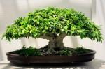 bonsai-ficus.jpg